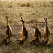 David Pattinson | Six Foxes and a Marmalade Cat, Australia 2010 | 100cm | £500 | Digital pigment print
